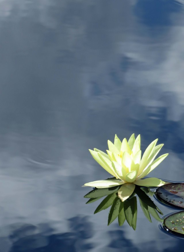 Water Lily background. Photo: David Clode.