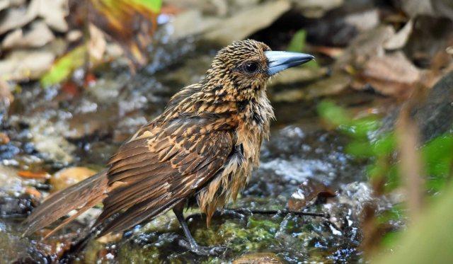 An immature Butcherbird enjoys a bath. Photo: David Clode.