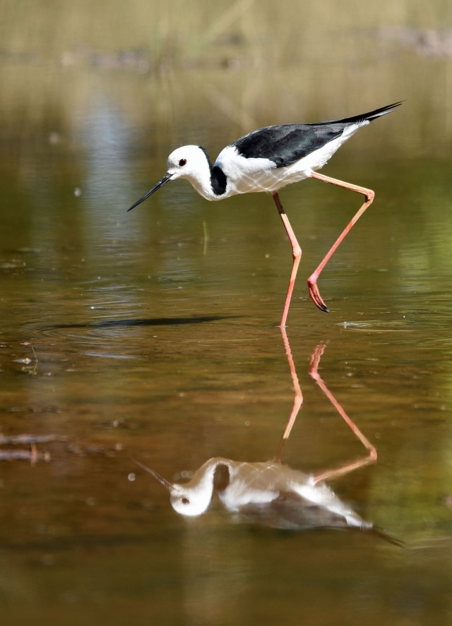 Black-winged Stilt. Cattana Wetlands, Photo: David Clode.