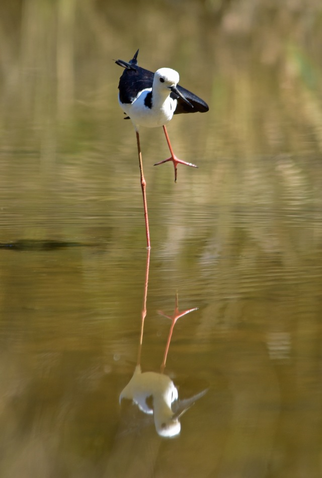 """Stilt"". Cattana Wetlands. Phot: David Clode."