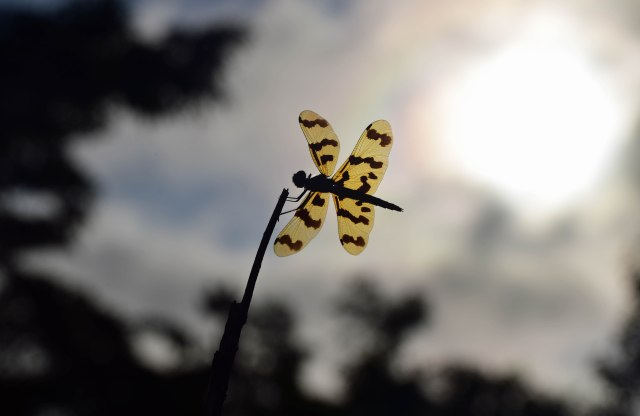 Rhyothemis graphiptera Graphic Flutterer. Cattana wetalnds. Photo: David Clode.