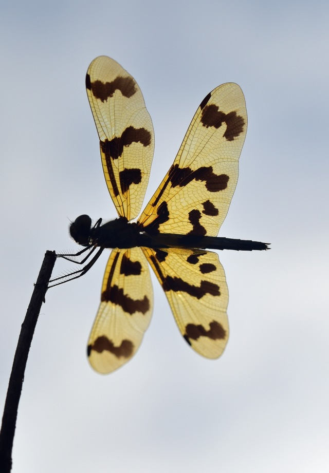 Graphic Flutterer dragonfly photographed from underneath. Cattana wetlands. Photo: David Clode.