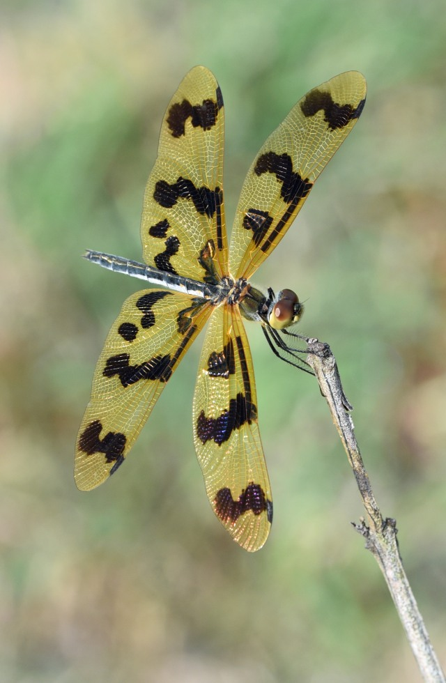 Graphic Flutterer Rhyothemis graphiptera. Cattana wetlands. Photo: David Clode.