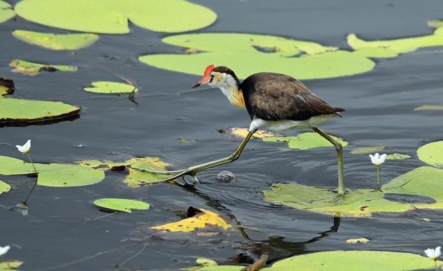 """Giant Step"". Jacana, Cattana wetlands. Photo: David Clode."