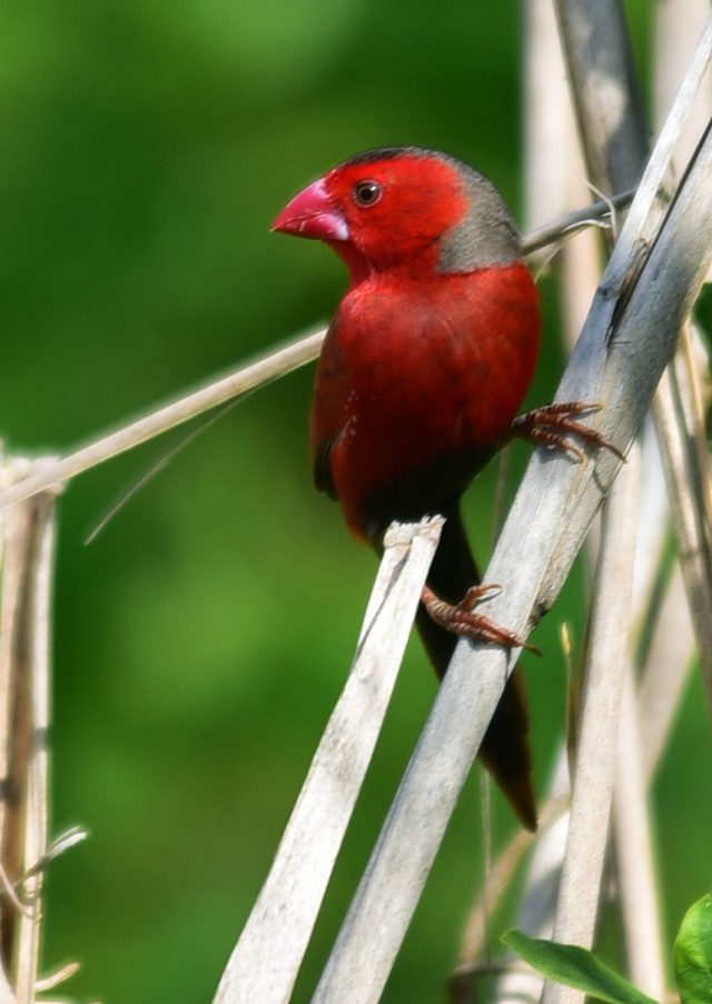 Crimson Finch. Half Moon Bay golf course, cairns. Photo: David Clode.