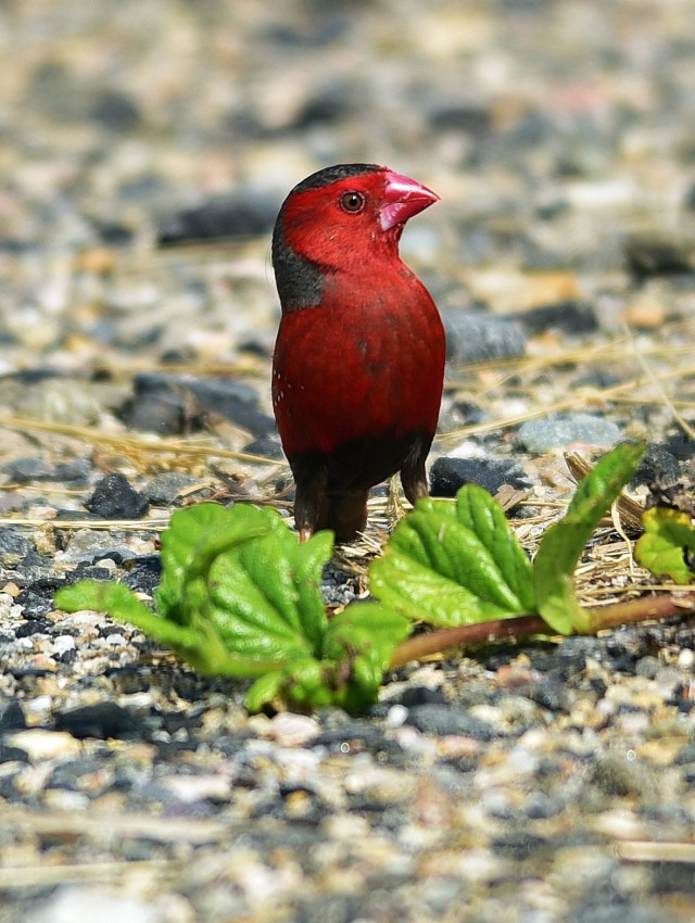 Crimson Finch. Photo: Dvaid Clode.