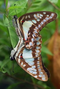 Mating Pale green Triangle butterflies Graphium euryplus. Photo: David Clode