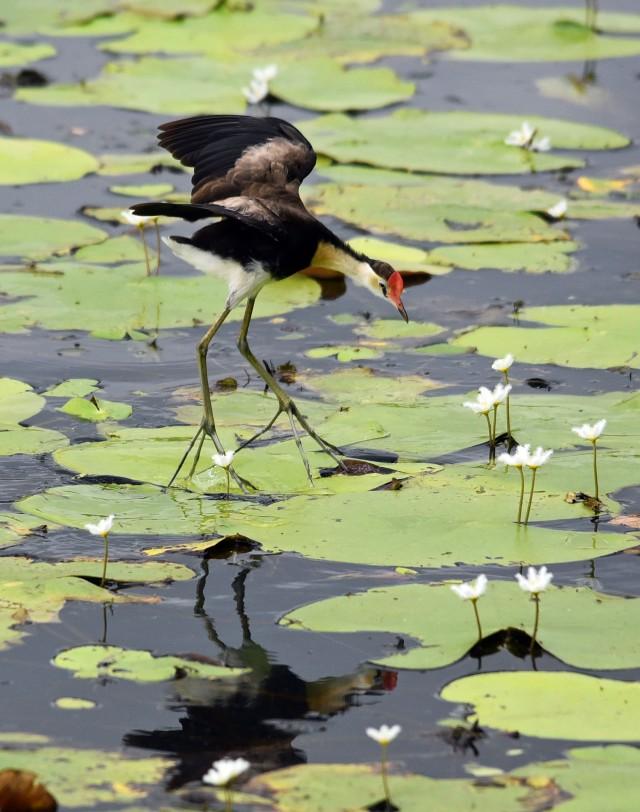 """Vertical take off"". Comb-crested Jacana. Cattana wetlands. Photo: David Clode."