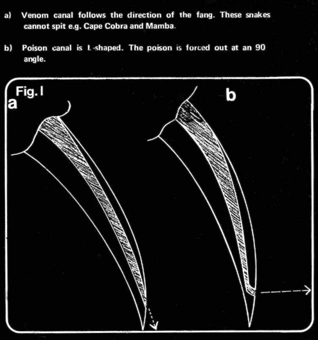 Diagram showing the curved venom canal of a spitting cobra, which projects venom forward in a spray.