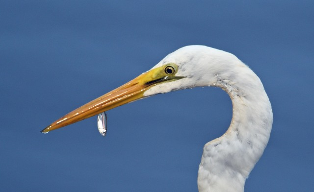 """Success"". Great Egret, Saltwater Creek, Cairns. Photo: David Clode."