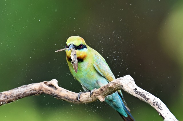 A Rainbow Bee-eater has caught a moth, and is smashing it against the branch - moth scales are flying everywhere. Photo: David Clode.