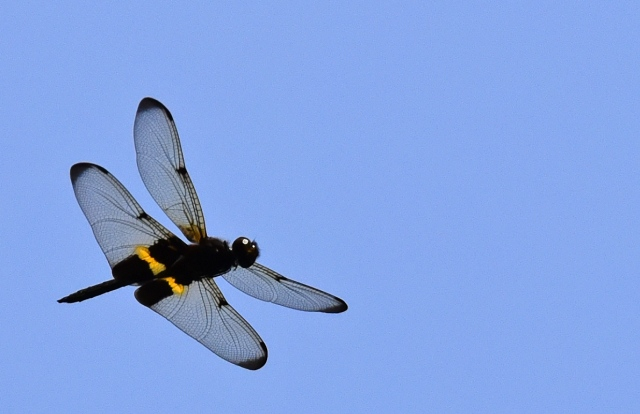 Dragonfly in flight. Rhyothemis phyllis. Photo: David Clode.