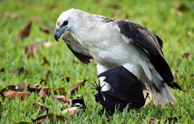 Sea eagle with Spectacled Flying-fox prey. Photo: David Clode.