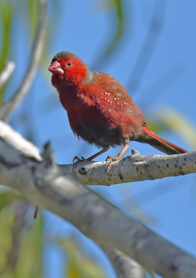 Crimson Finch. Cattana wetlands. Photo: David Clode.