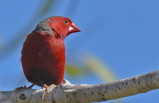 Crimson Finch. Cattana wetalnds. Photo: David Clode.