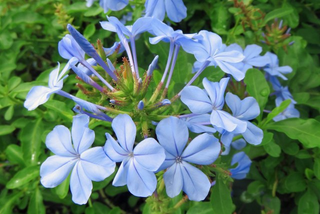 Plumbago auriculata cv. 'Royal Cape'. Photo: David Clode.