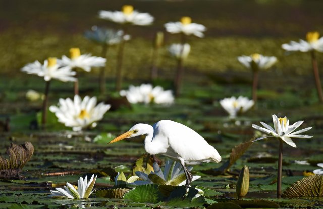 Intermediate Egret fishing amongst water lily flowers.