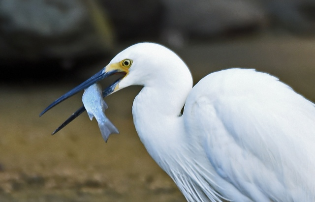 A Little Egret has caught a fish. Photo: David Clode.