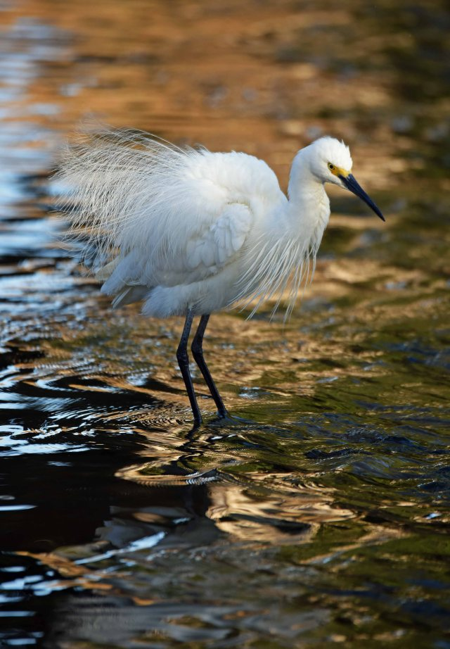 Little Egret, Saltwater creek. Photo: David Clode.