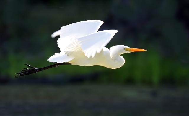 Flying Egret. Photo: David Clode.