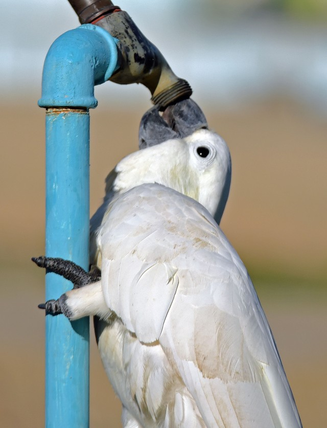 A Sulphur-crested Cockatoo drinks from a tap. Photo: David Clode.