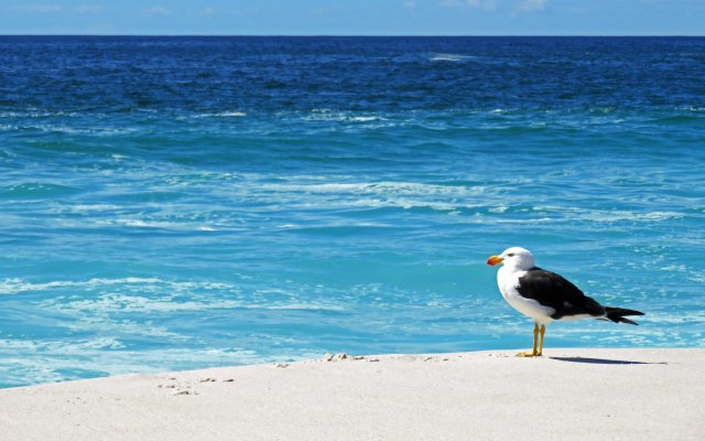 Pacific Gull. Bay of Fires, Tasmania. Photo: David Clode.