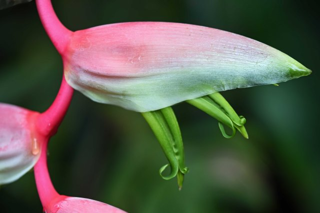 Heliconia 'Sexy Pink'. Photo: David Clode.
