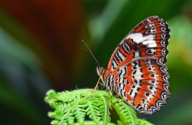Orange Lacewing butterfly. Photo: David Clode.