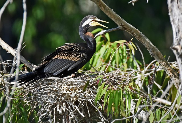 Male Darter sitting on a nest.