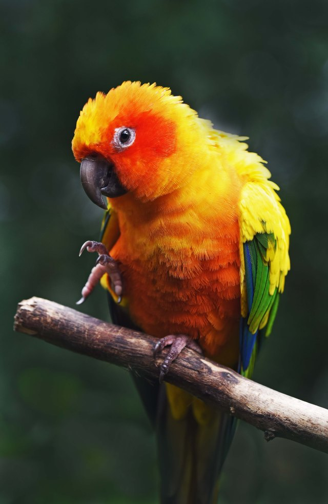 Sun Conure. Photo: david Clode.