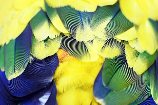 Sun Conure plumage. Photo: David Clode.