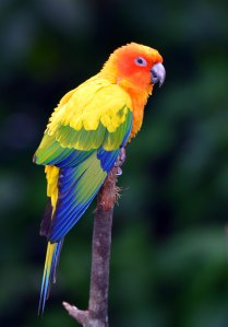 Sun Conure from South America. Birdworld Kuranda. Photo: David Clode.