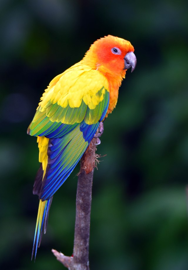 Sun Conure from South America. Birdworld Kuranda. Photo: David Clode.