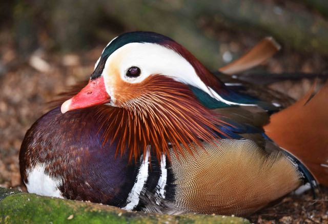 Mandarin duck from China. Birdworld. Photo: David Clode.