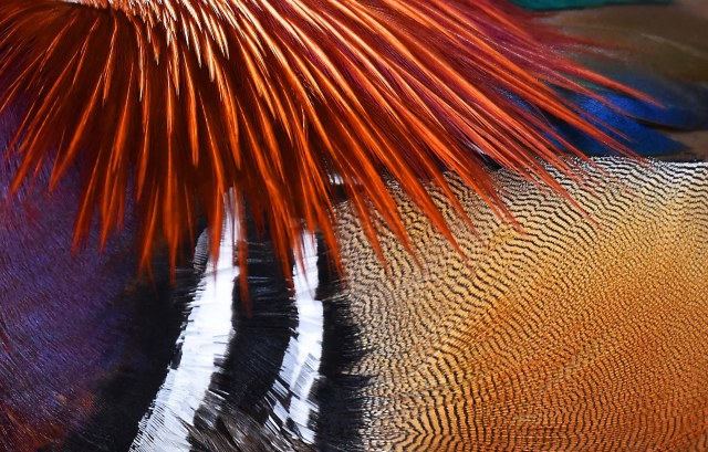Mandarin plumage. Photo: David Clode.