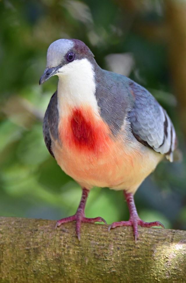 Luzon Bleeding Heart pigeon. Kuranda Birdworld. Photo: David Clode.