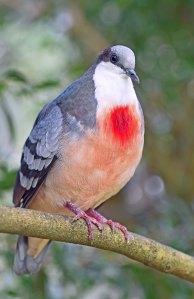 Bleeding-heart pigeon. Photo: David Clode.