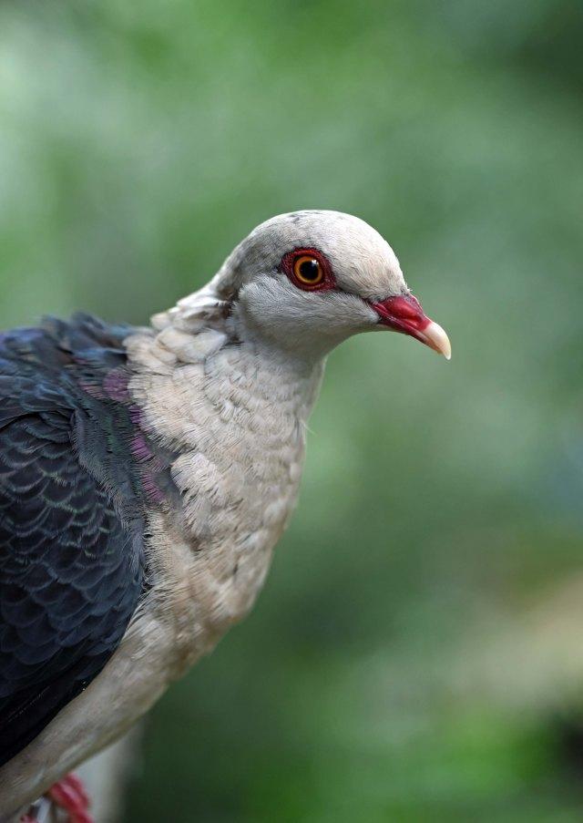 Pigeon, Birdworld.