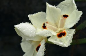 Dietes bicolor African Iris. Photo: David Clode.