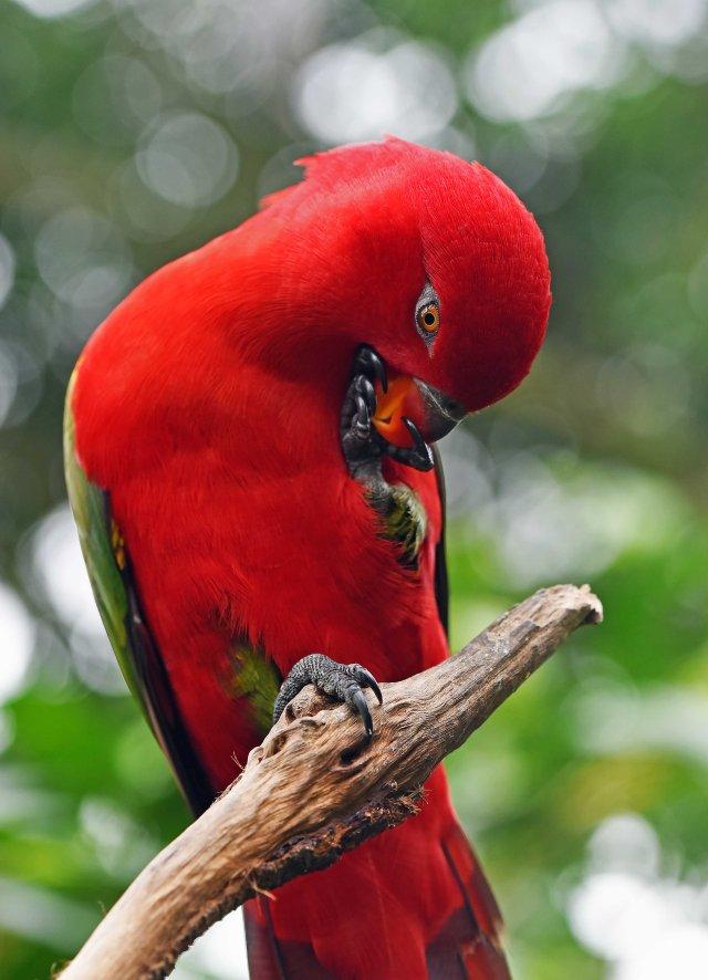 King parrot. Birdworld. Photo: David Clode.
