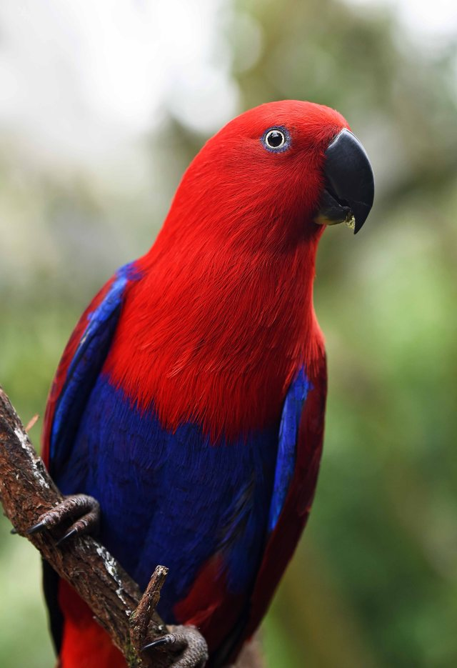 Female Eclectus Parrot. Birdworld. David Clode.