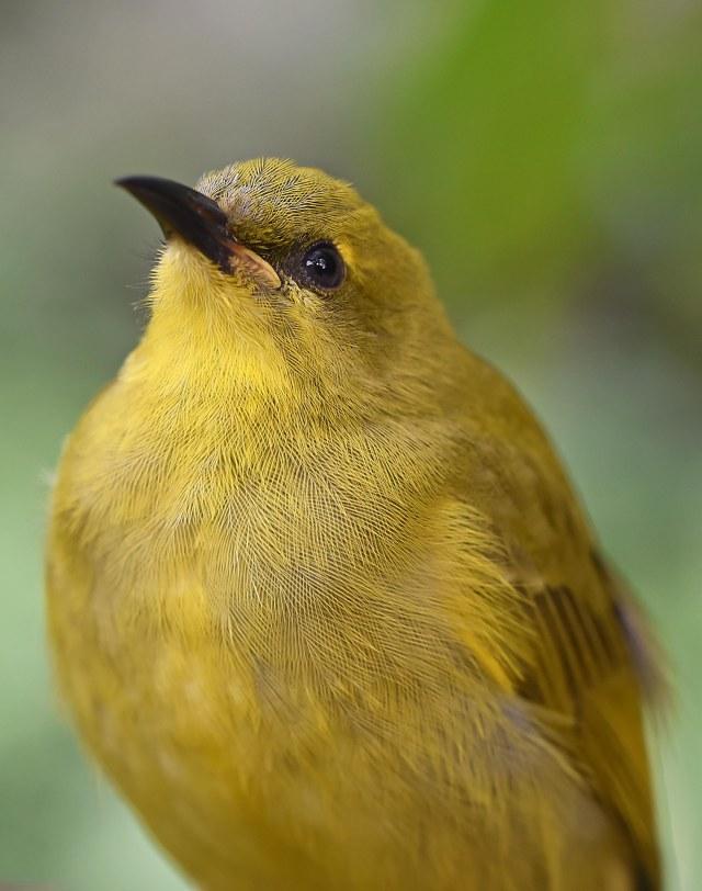 Yellow Honeyeater. Birdworld. Photo: David Clode.