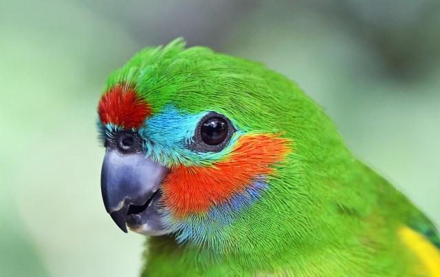 Figparrot portrait. Kuranda birdworld. Phot: David Clode.