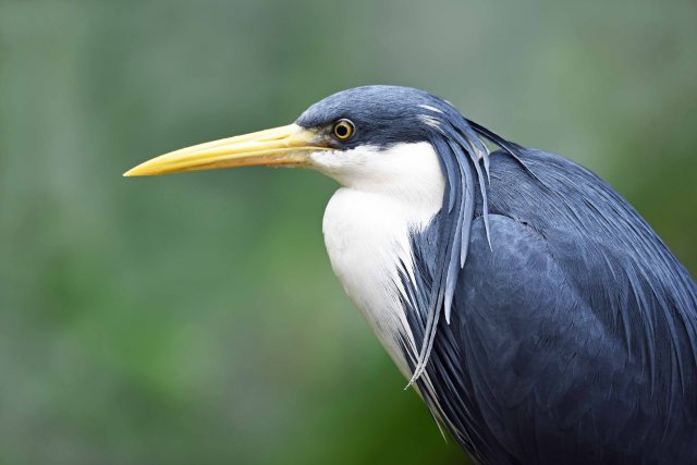 Pied Heron. Birdworld Kuranda Australia. Photo: David Clode.