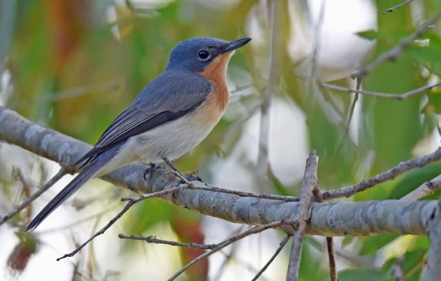 Female Leaden? Flycatcher. Cattana wetlands.