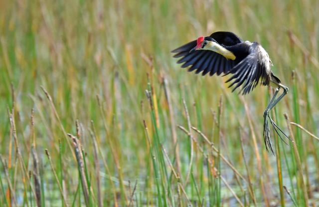Jacana coming in to land. Mareeba Wetlands. Photo: David Clode.