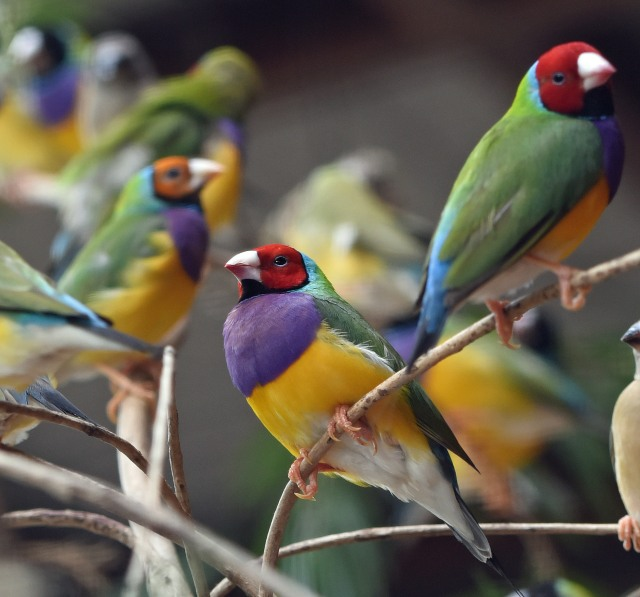 Gouldian finches in an aviary at the Mareeba Wetlands where they are trying to re-introduce them. Photo: David Clode.