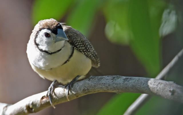 Double-barred Finch. Mareeba Wetlands.
