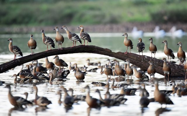 Plumed Whistling Ducks. Hasties Swamp. Photo: David Clode.