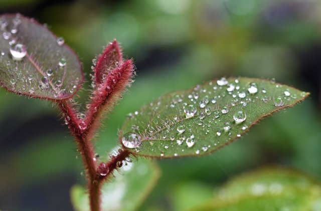 Rain drops on the growing tip and new leaves of a Cadagi gum Eucalyptus torelliana. Atherton Tablelands, Australia. Photo: David Clode.